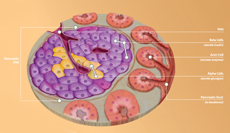 Pancreatic islets, such as seen here, produce insulin. Islet transplantation is being studied for possible treatment of severe diabetes and chronic pancreatitis but is currently only available in clinical trials in the U.S.