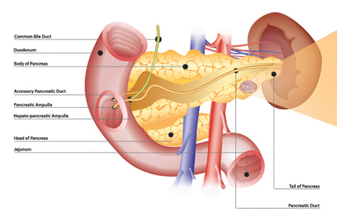 An overview of the pancreas. A diagram of a pancreatic islet appears at the end of this article.