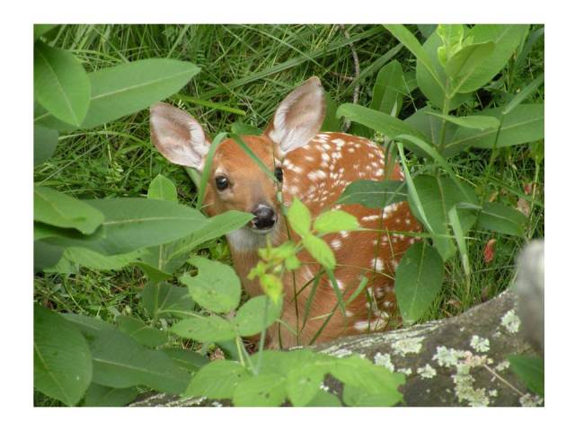 A newborn fawn photographed by Patty Mondore at her camp in Redwood, in the Thousand Islands region.