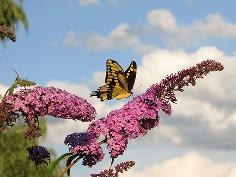 Mondore captured this image of a butterfly and butterfly bush at her home in Jamesville.