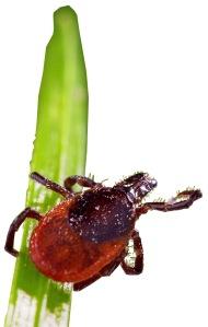 An adult tick on a blade of grass.