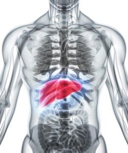The liver, shown in red, plays numerous roles in the body.