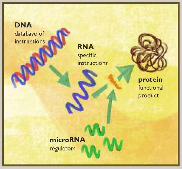 DNA, RNA and microRNA